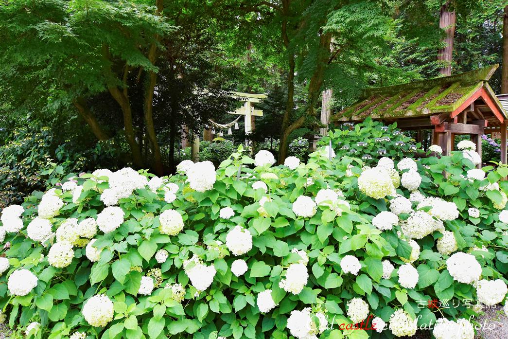 磯山神社 境内の白い紫陽花