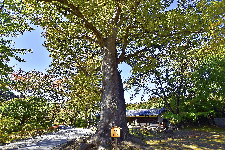 11欅の古木