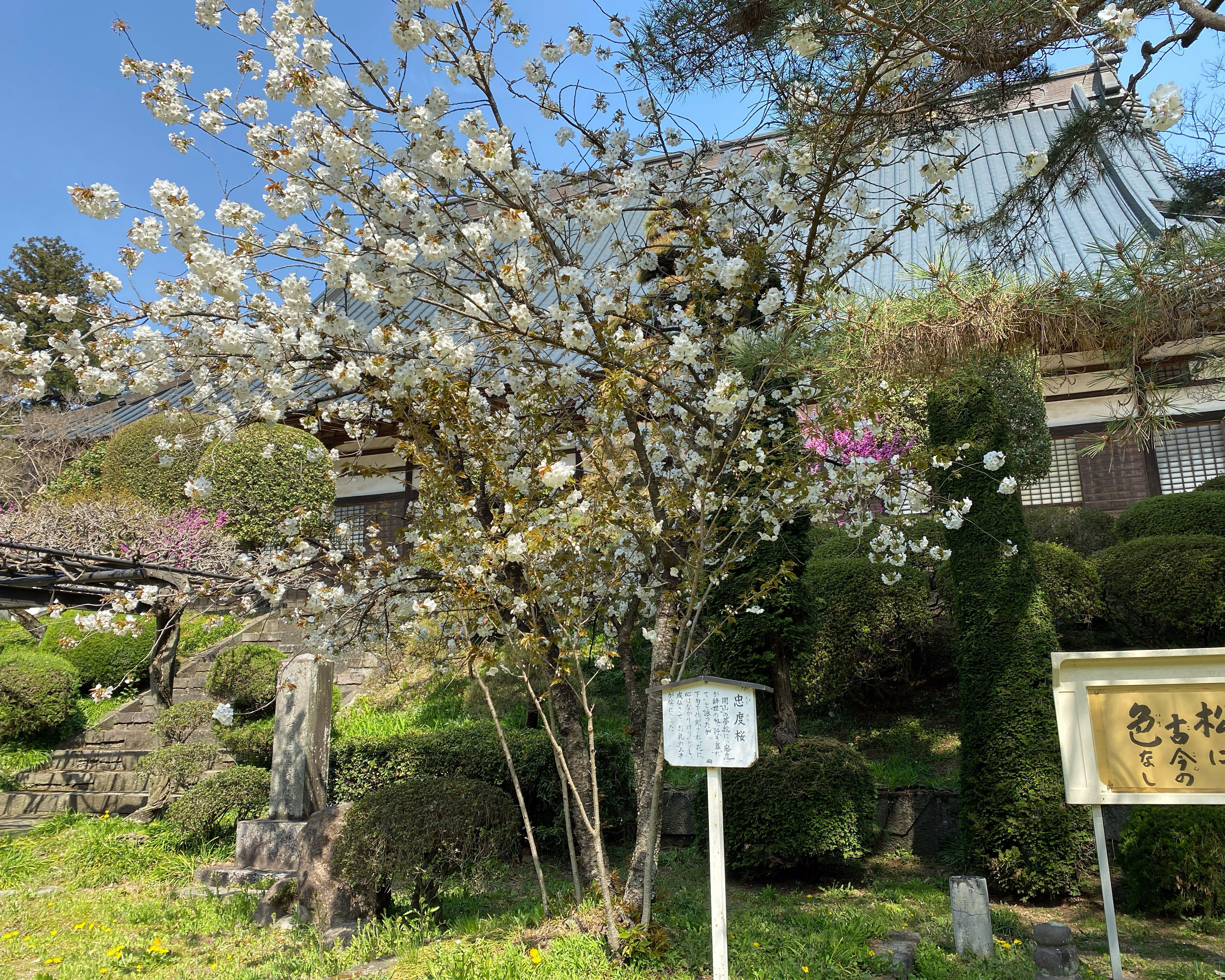 109忠度桜
