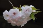 ウコン桜ピンク