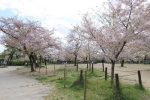 桜満開 人影なし