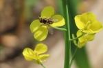 わさび菜にミツバチが・・・