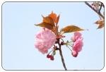 今からの開花