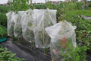 トマトの栽培法