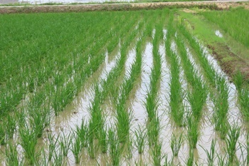 稲が育っている