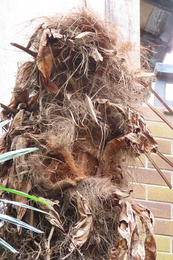 7樹皮を剥がし切り取り準備