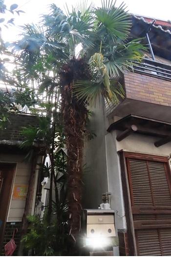 棕櫚は大木になりました