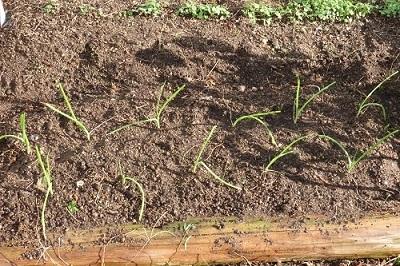 玉葱の畝400