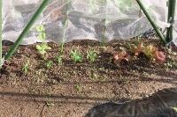 エンドウ豆とサニーレタス