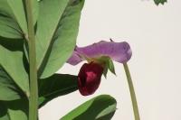 紫エンドウ