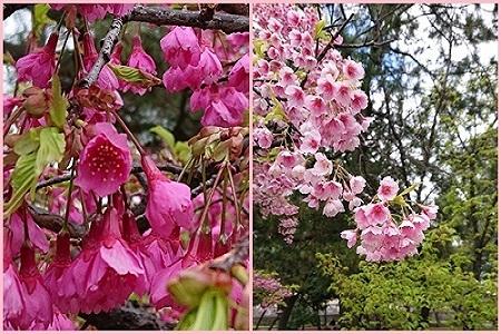カンピ桜450