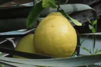 特大レモン