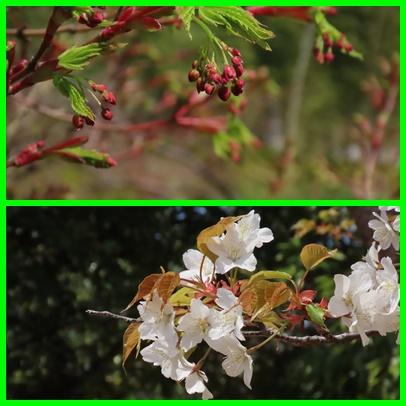 紅葉と山桜