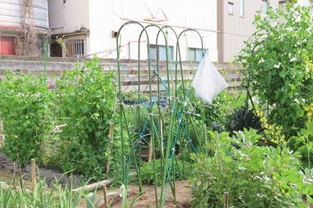 夏野菜のアーチ