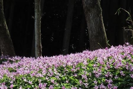 カタクリの花②