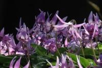 カタクリの花③