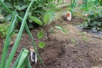 定植①長茄子