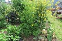 ワサビ菜ジャングル