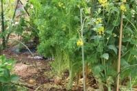 ワサビ菜整理