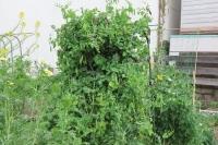 エンドウのジャングル450