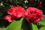 八重咲き椿