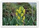 レタハクの花