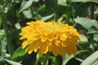 ジニア 黄色