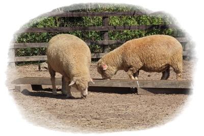 牧エリア羊