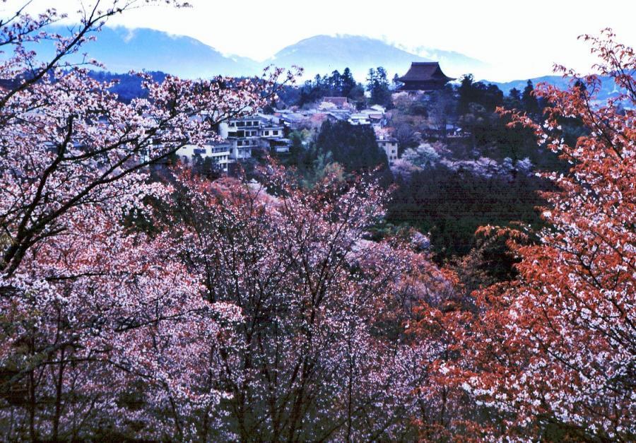 吉野山(桜)5