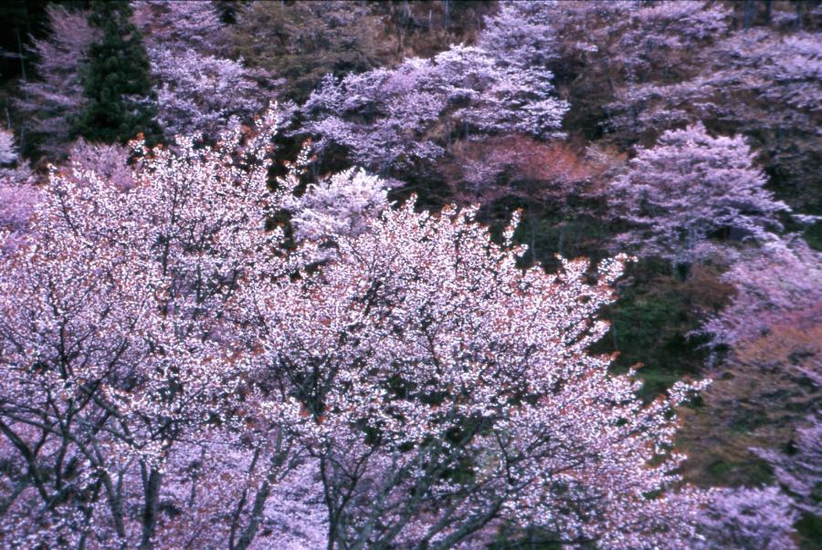山桜(吉野)1