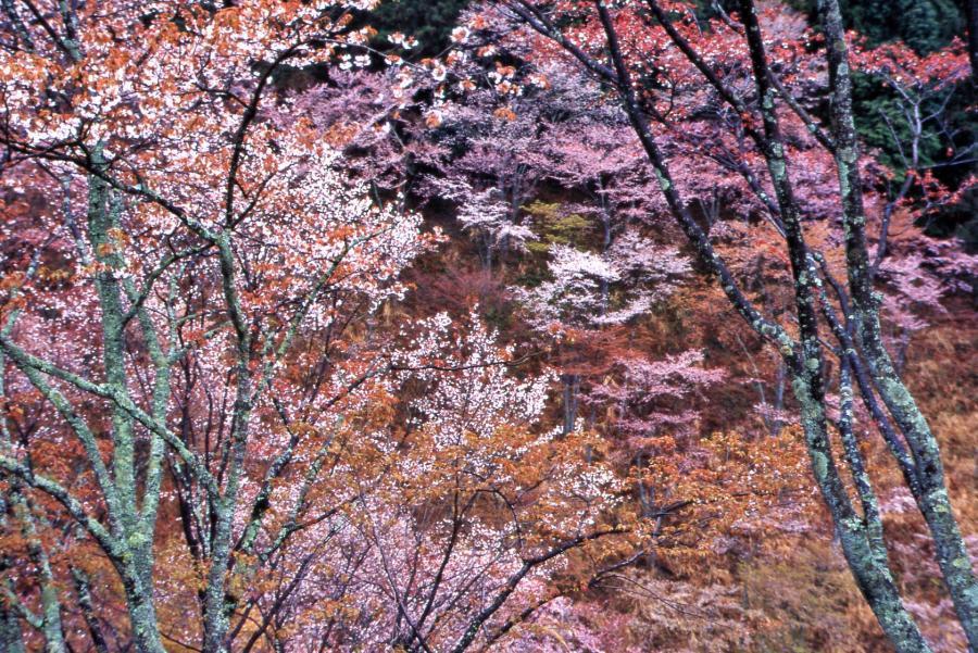 山桜(吉野)3