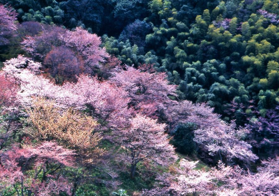 山桜(吉野)4