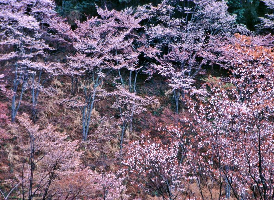吉野山(桜)6