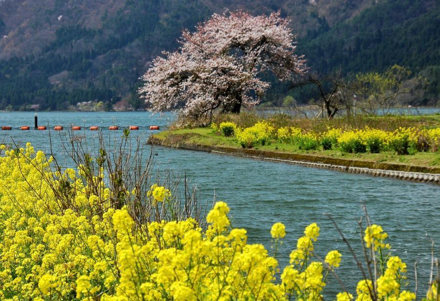 湖北の桜3
