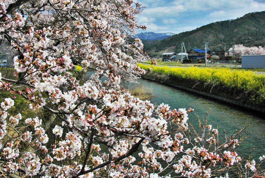 湖北の桜1