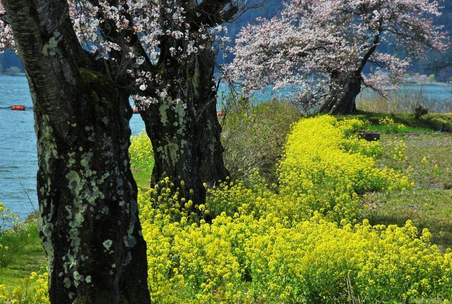 湖北の桜4